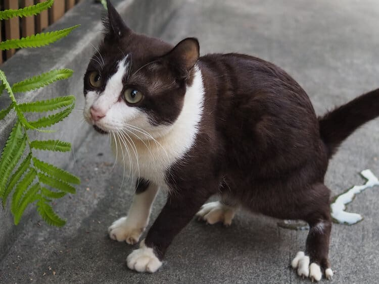 brown cat peeing