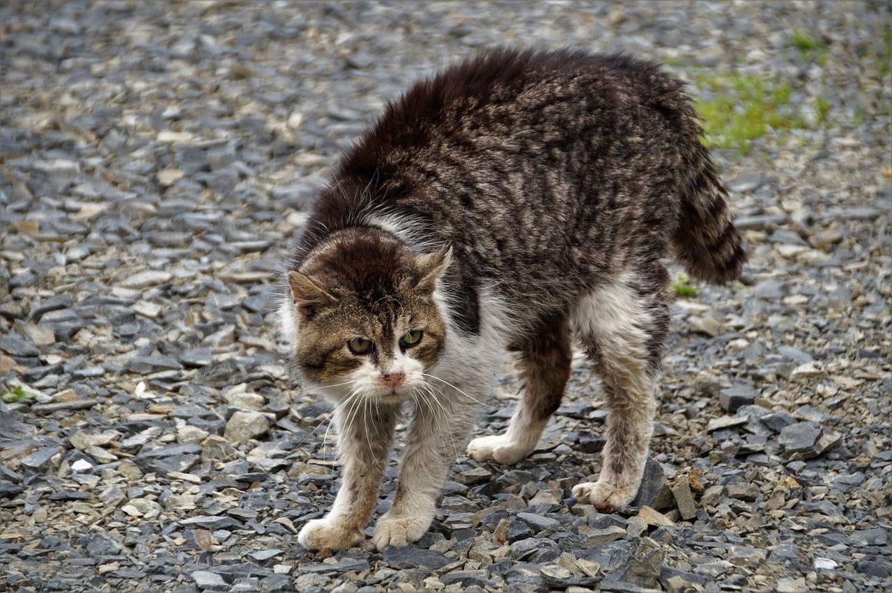 cat bristling