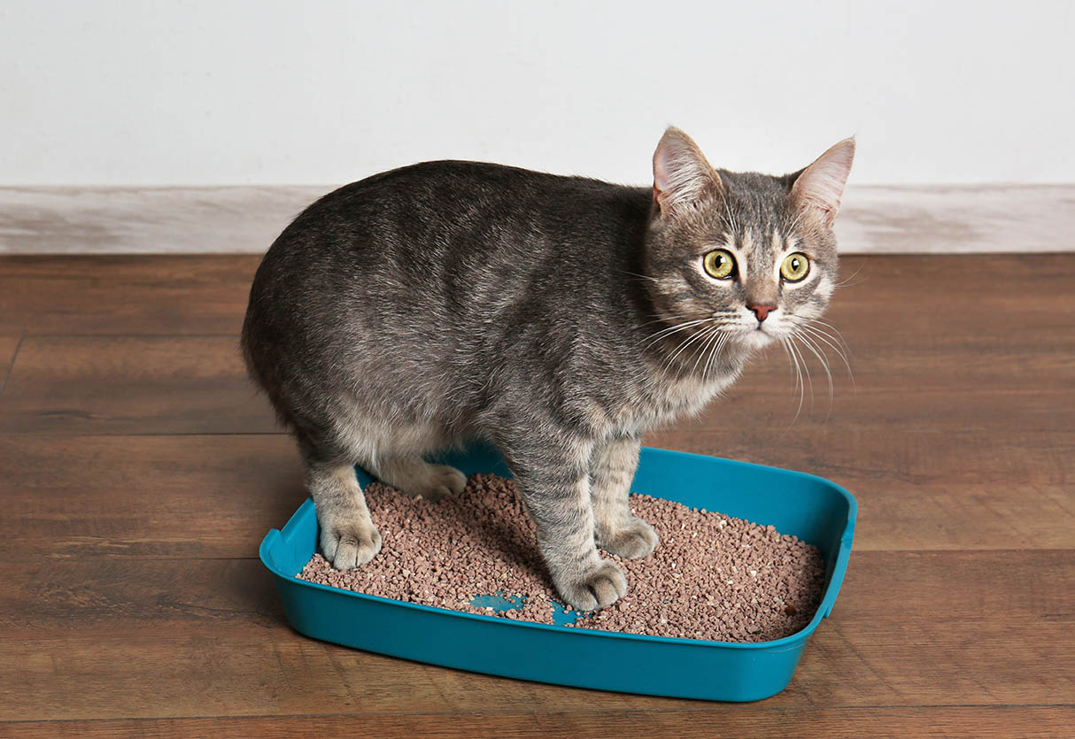 cat in a small litter tray