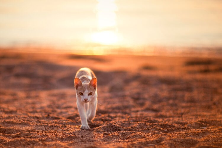 cat walking in desert