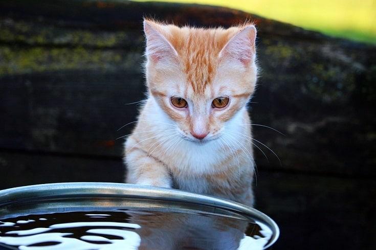 cat staring at water