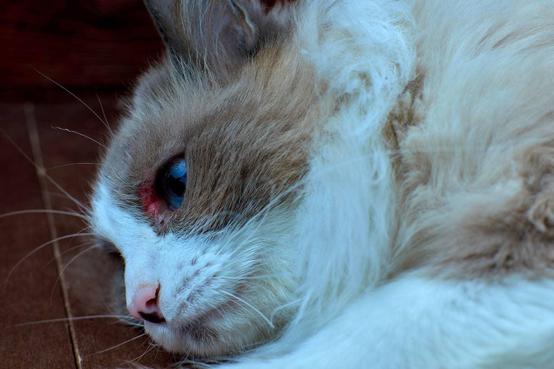 cat with eye wound_eremeevdv, Shutterstock