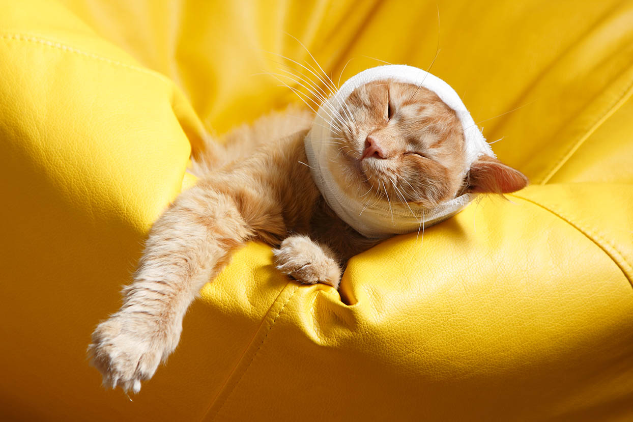 cat with head bandage