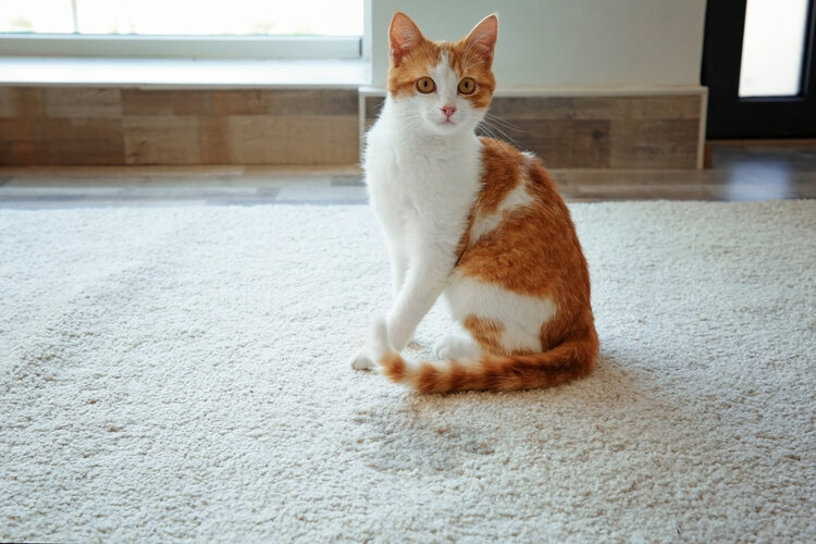 cat with pee stain on carpet