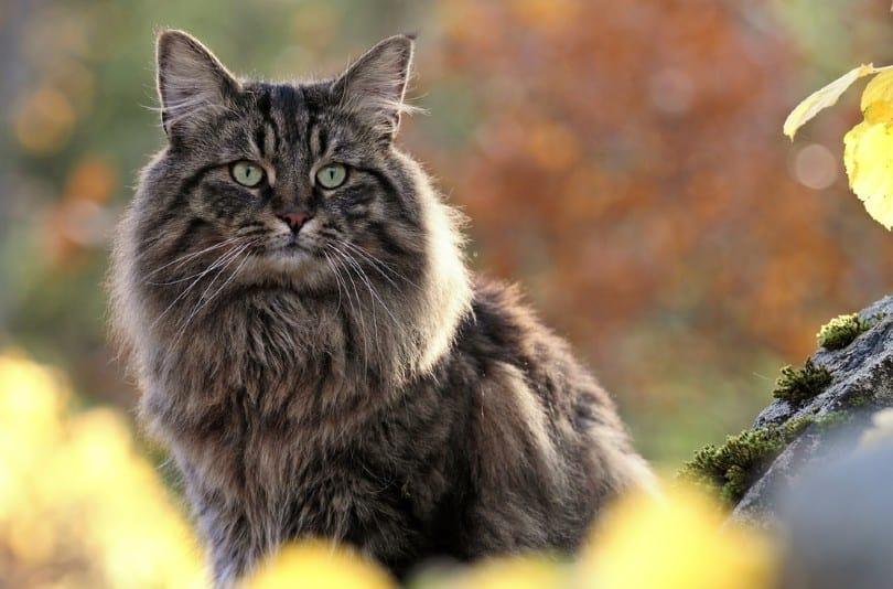 classic tabby Norwegian forest cat