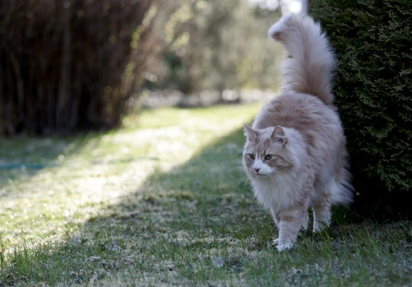 cream silver tabby Norwegian forest cat