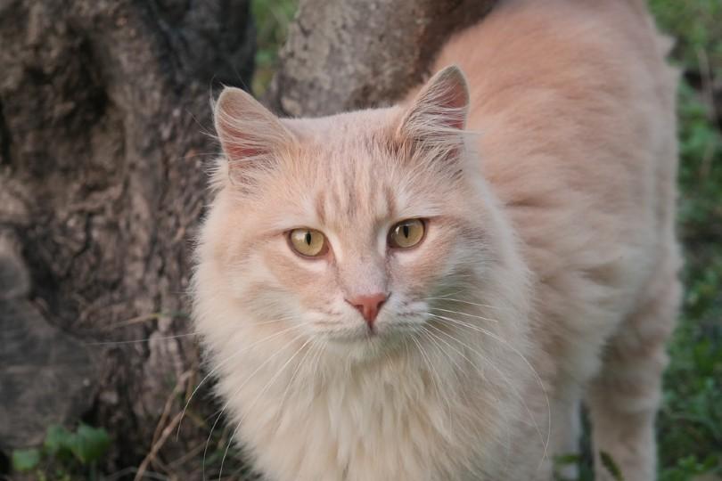 cream tabby Norwegian Forest Cat