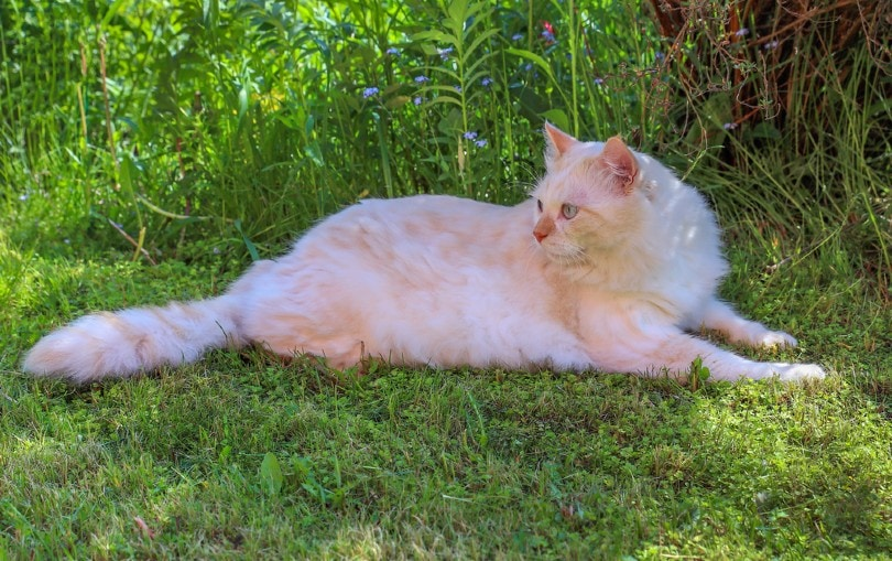 cream turkish angora