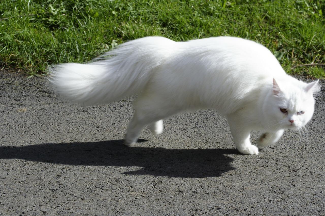 european shorthair cat running