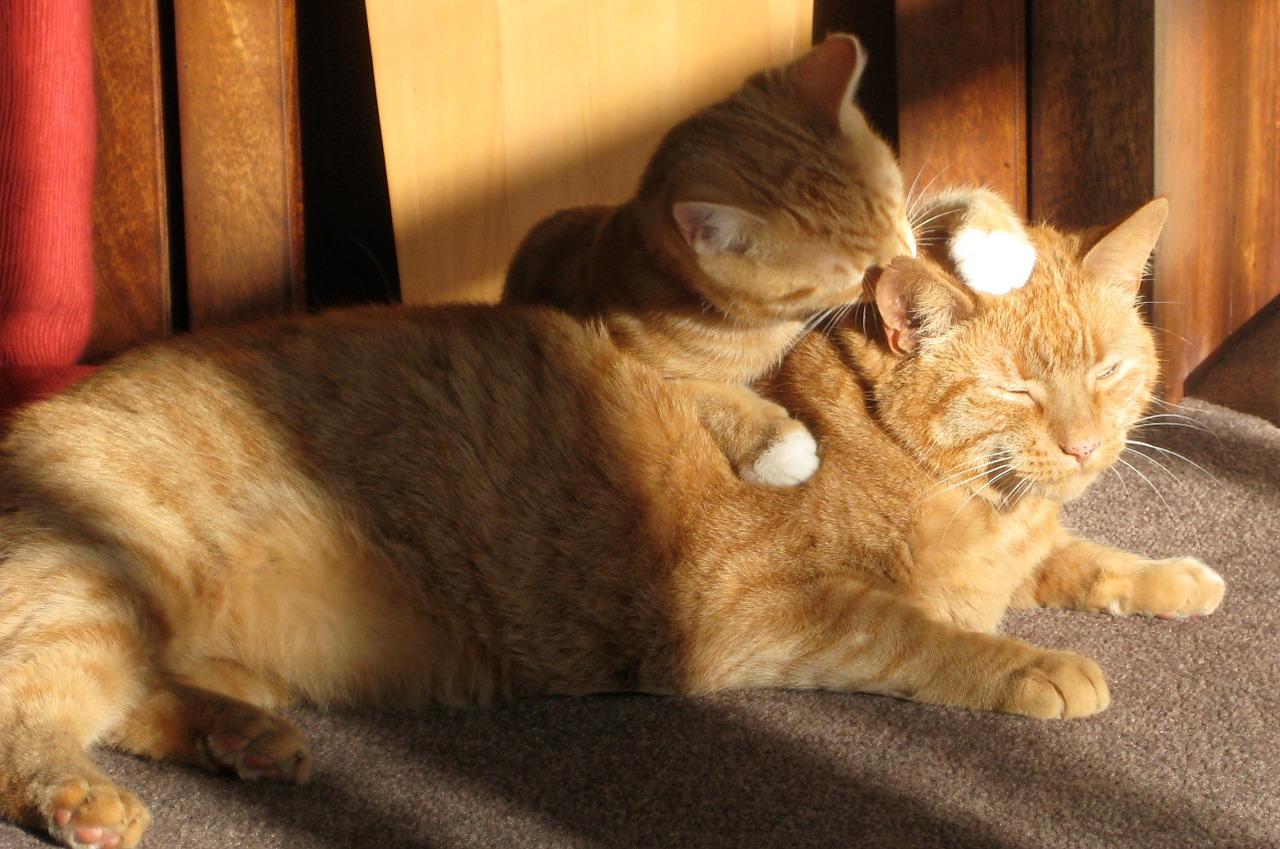 kitten licking its mother