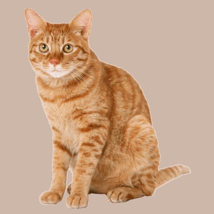 Lion cat looking