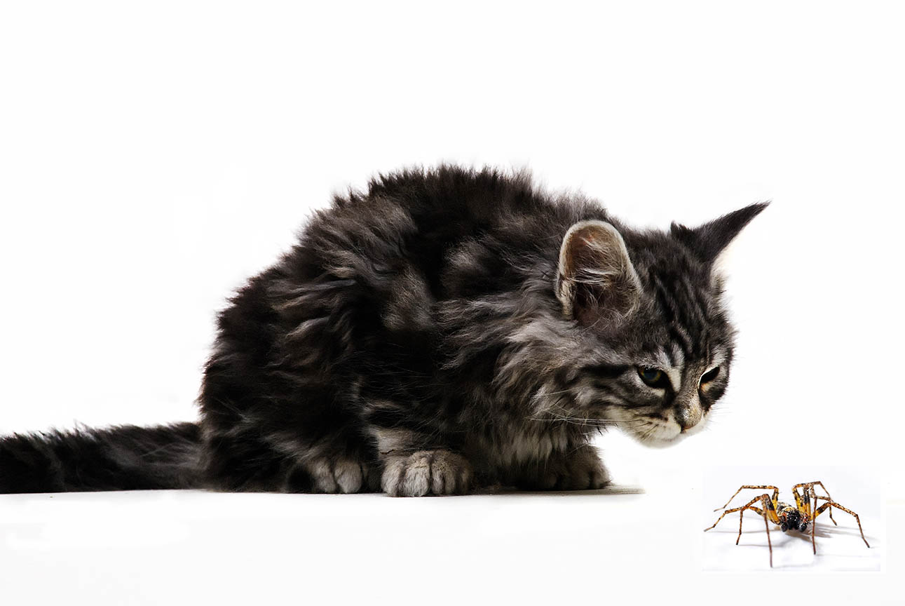 maine coon looking at a spider