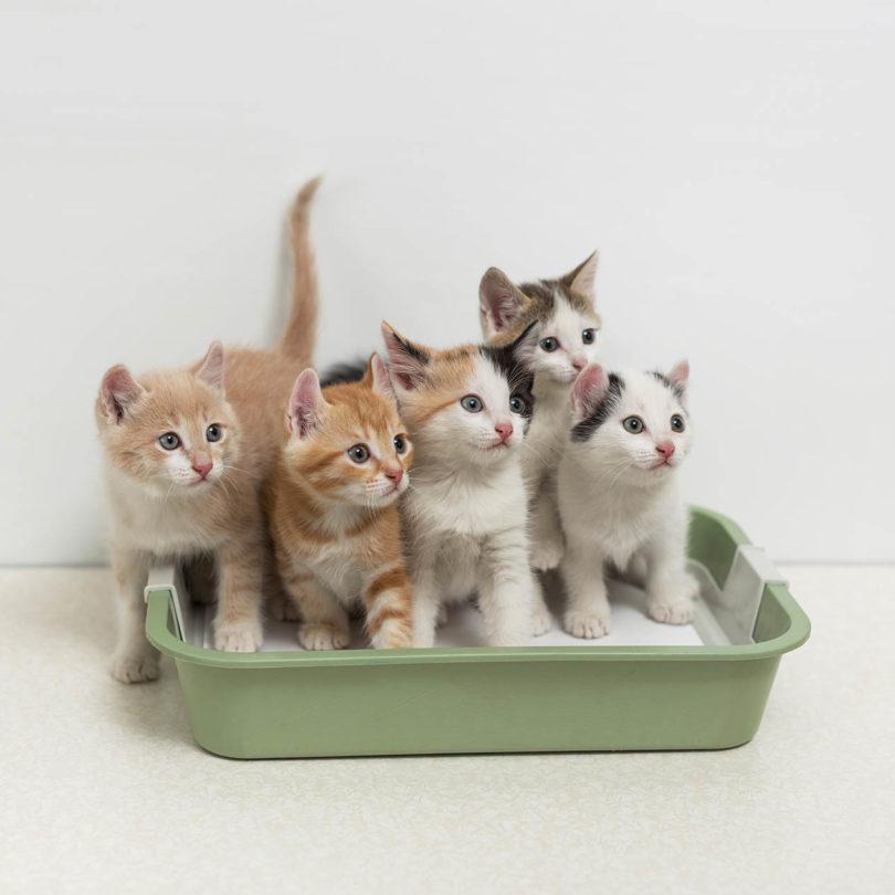 multiple kittens in a litter box
