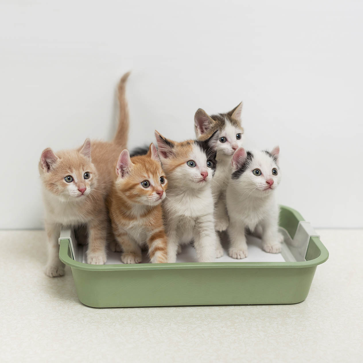 multiple kittens in a litter box