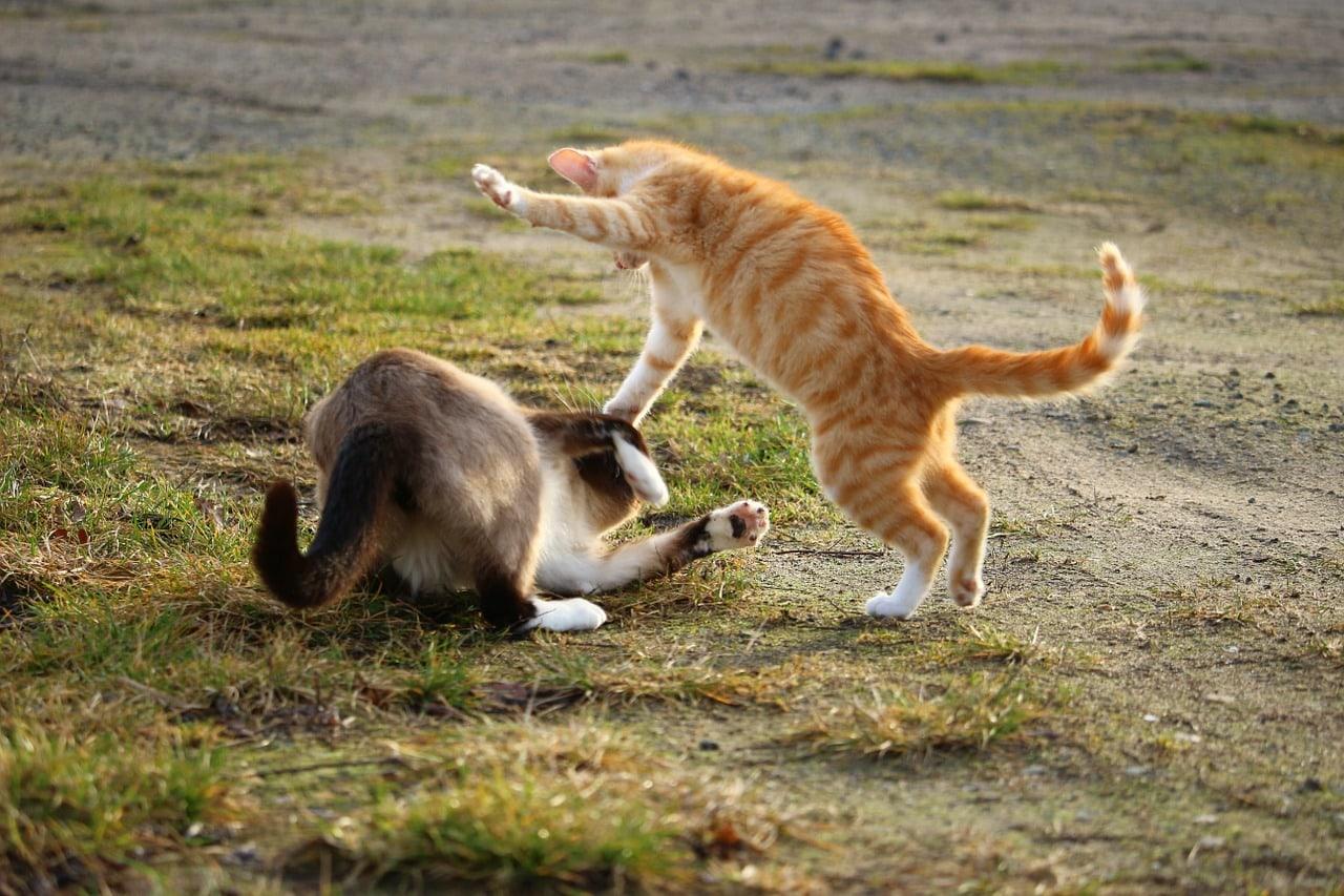 orange cat and siamese cat fighting