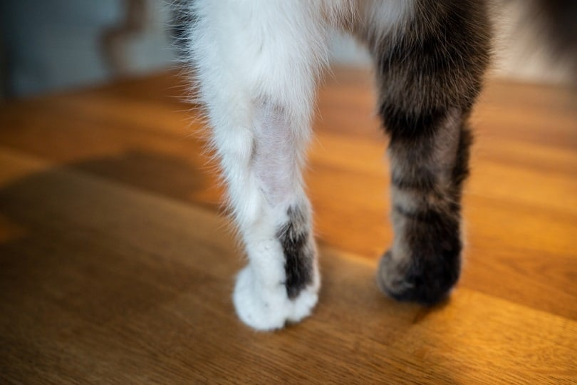 paws-of-a-tabby-white-cat-with-bald-spots_Nils-Jacobi_shutterstock