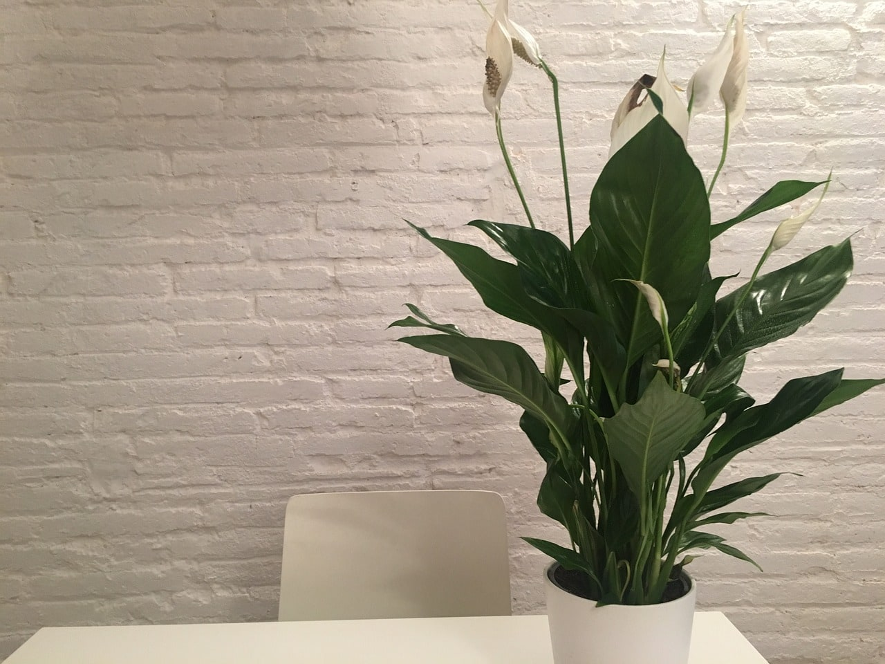 peace lilies indoors