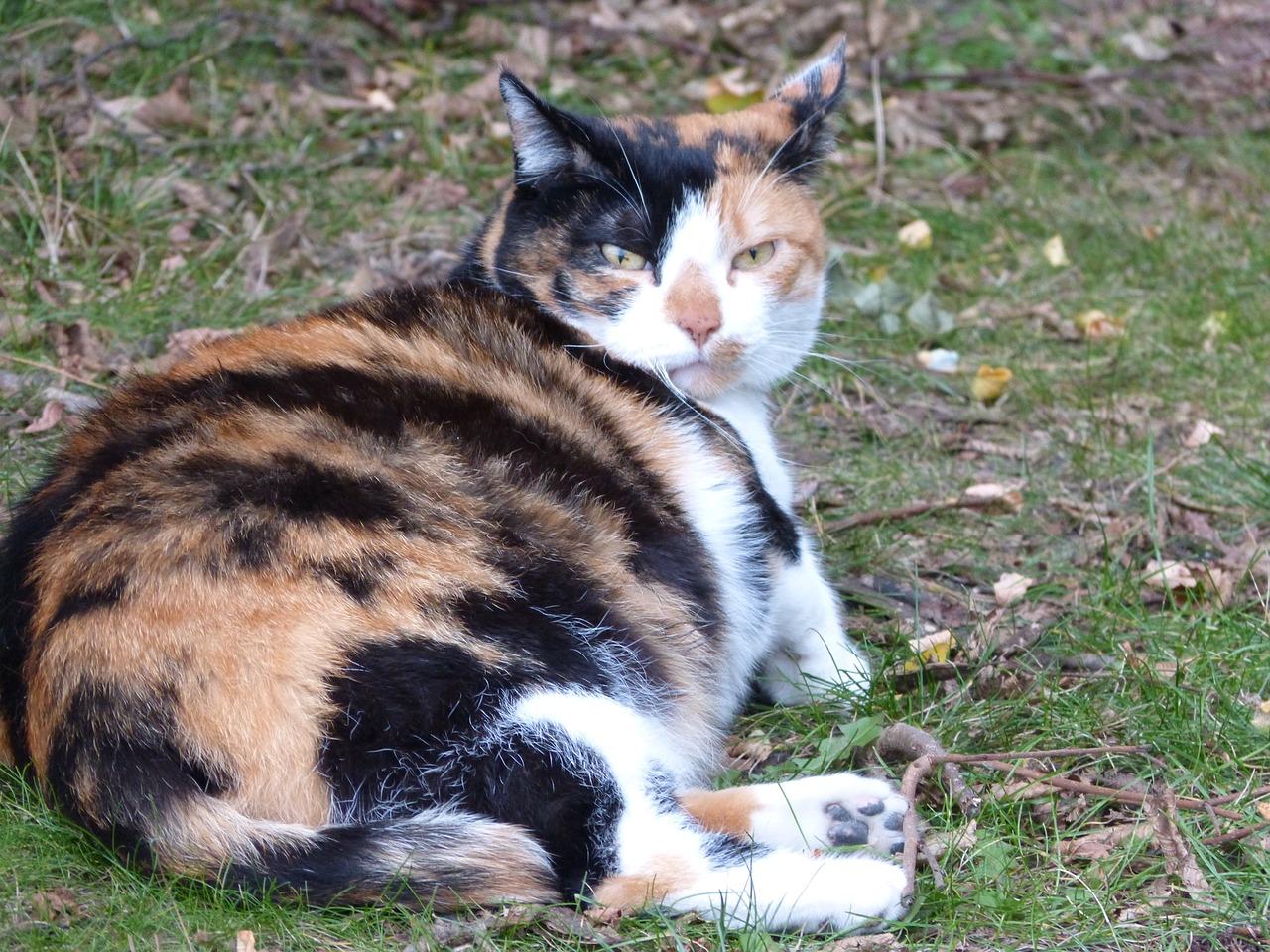 pregnant cat lying_Pixabay