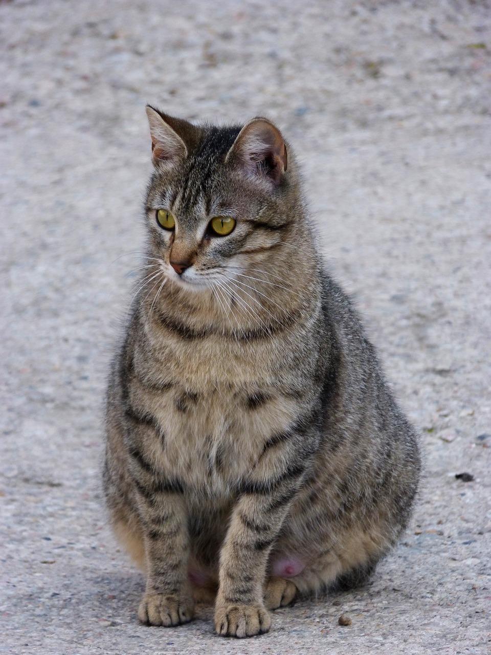 pregnant cat sitting