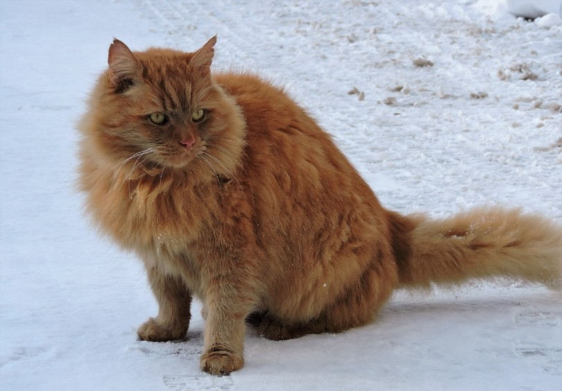 red norwegian forest cat in the snow