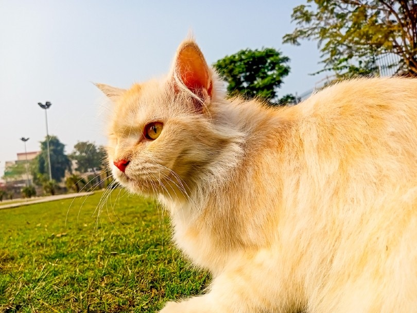 red turkish angora