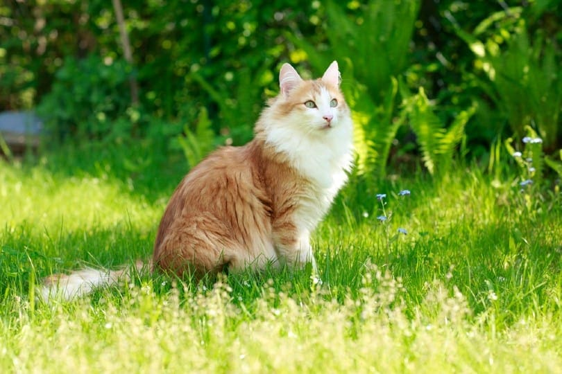 shaded cameo norwegian forest cat