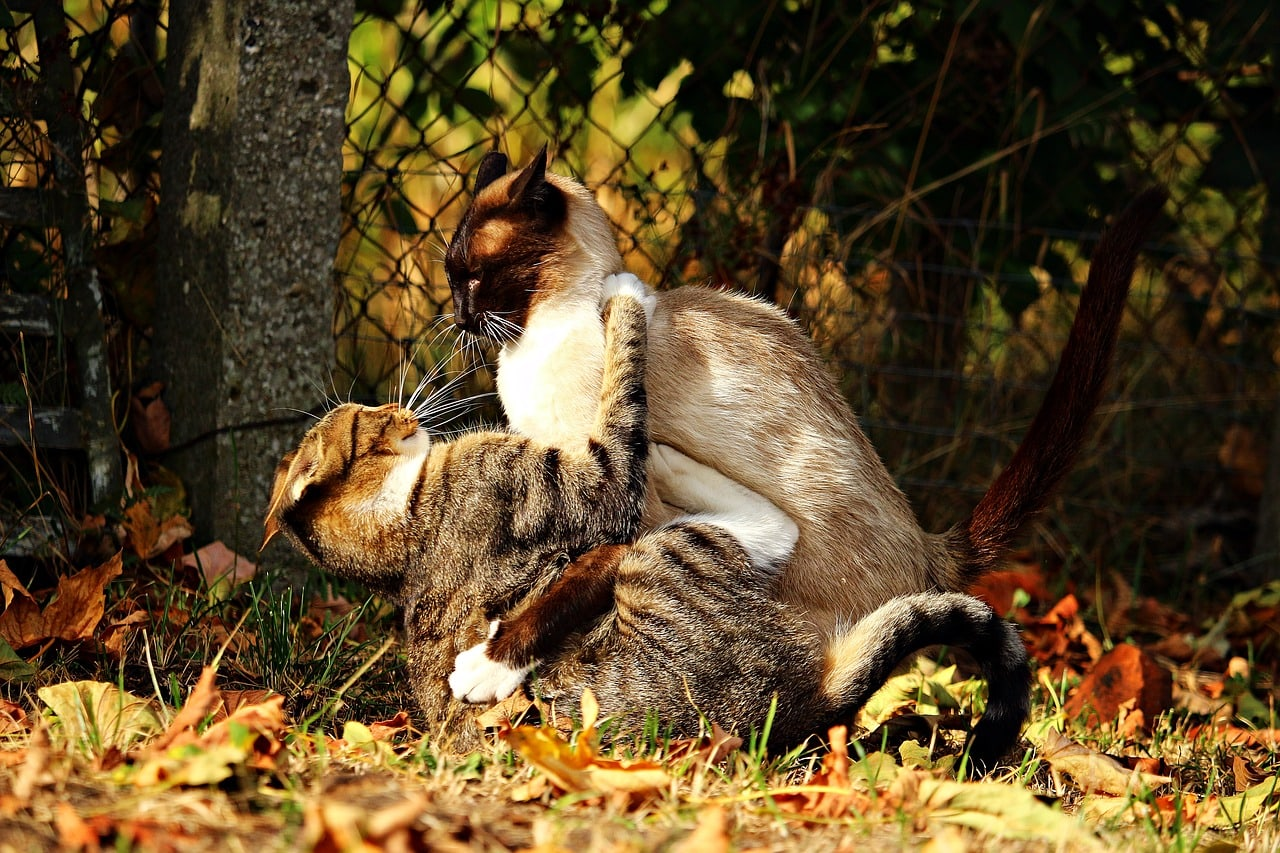 siamese cat and tabby cat fighting