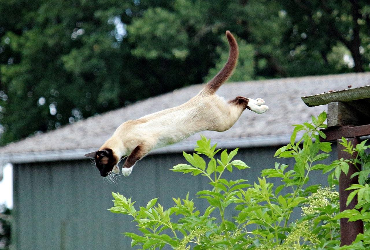 siamese cat jumps