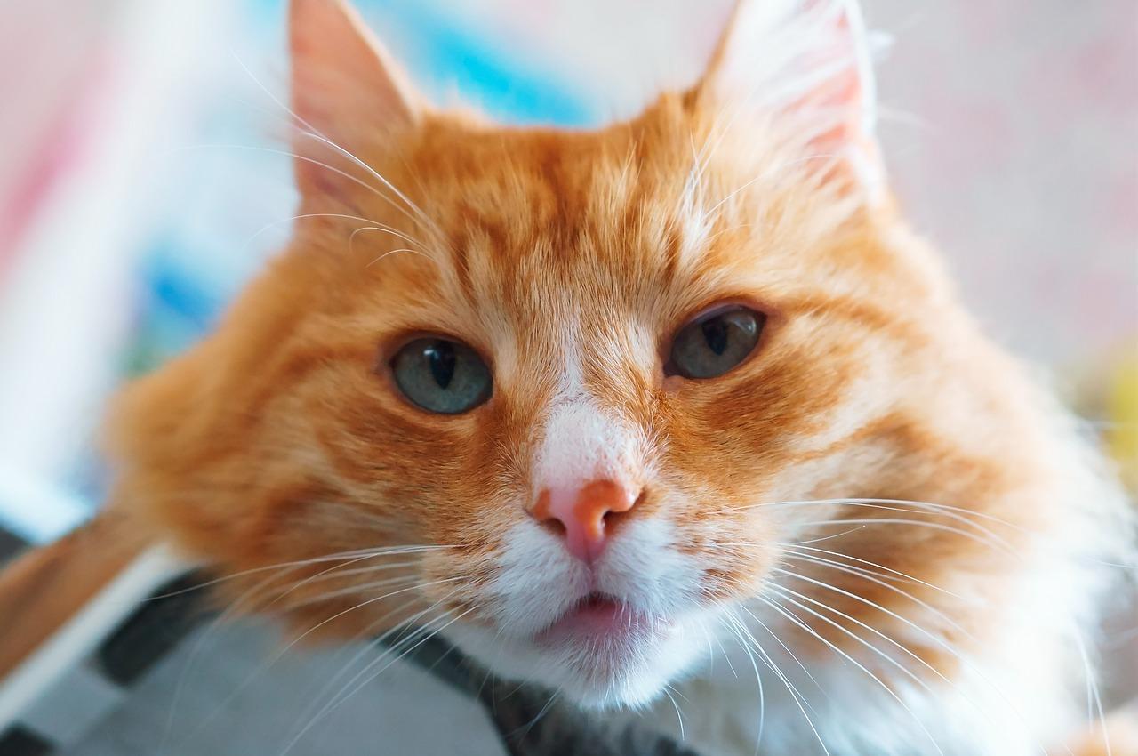 sick orange cat