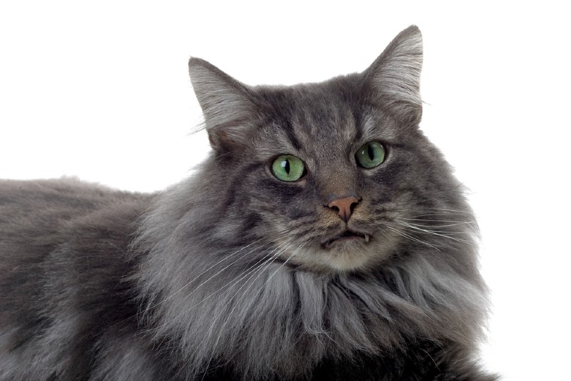 silver patched tabby norwegian forest cat