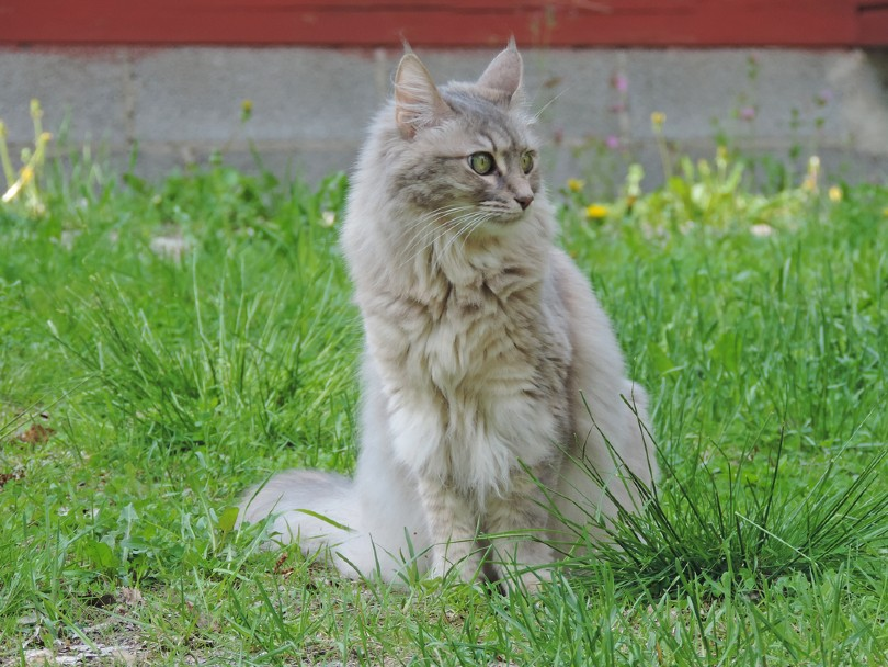 silver tabby turkish angora