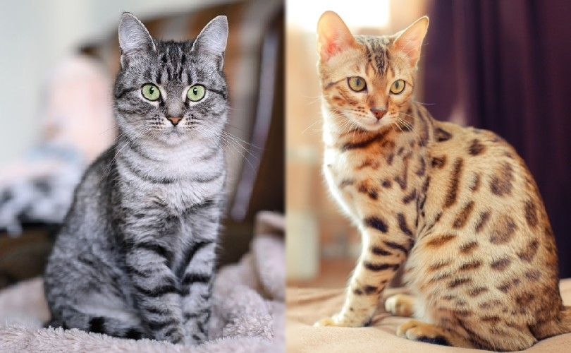 the parent breeds of toyger