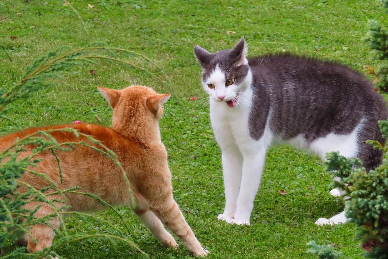 two aggressive cats