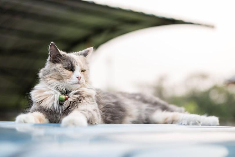 white and blue-cream Norwegian Forest Cat