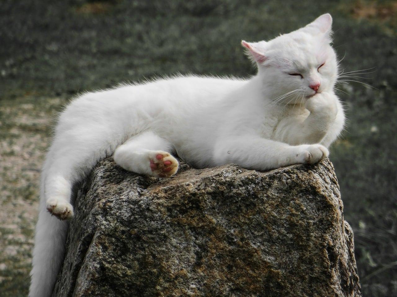 white cat licking itself