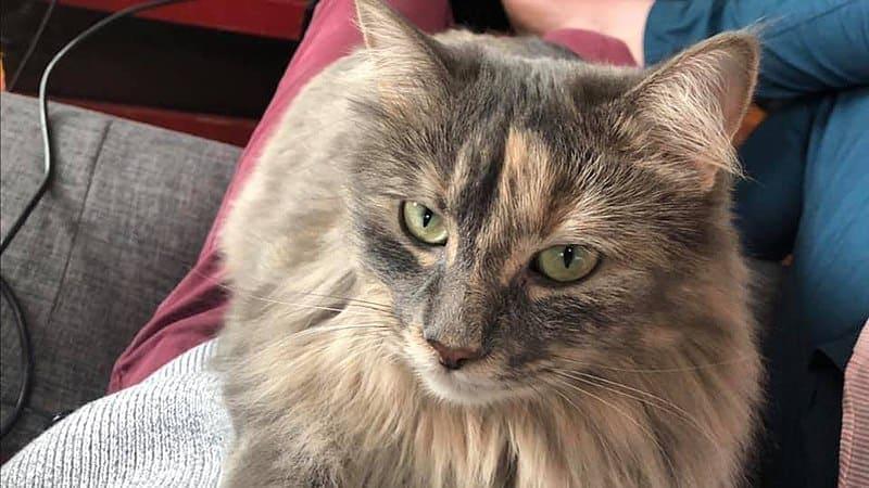 Dilute Tortie cat close