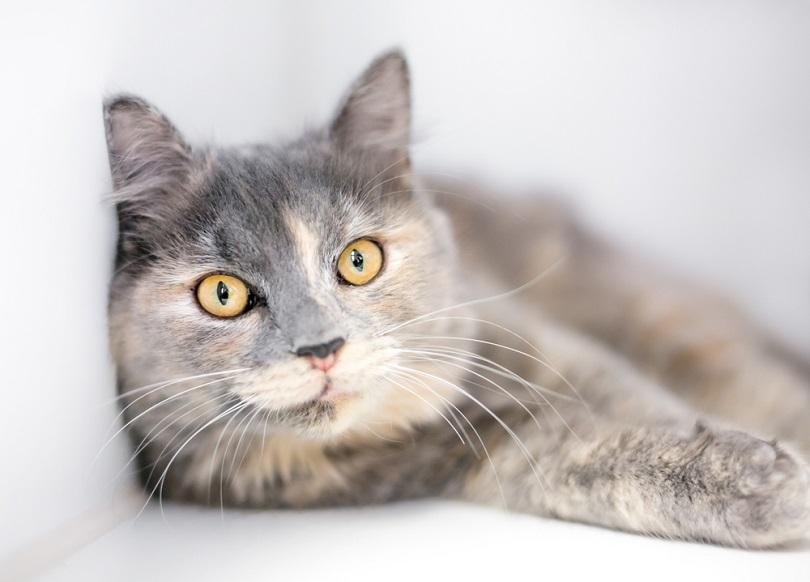 Dilute Tortoiseshell cat with yellow eyes_Mary Swift_shutterstock
