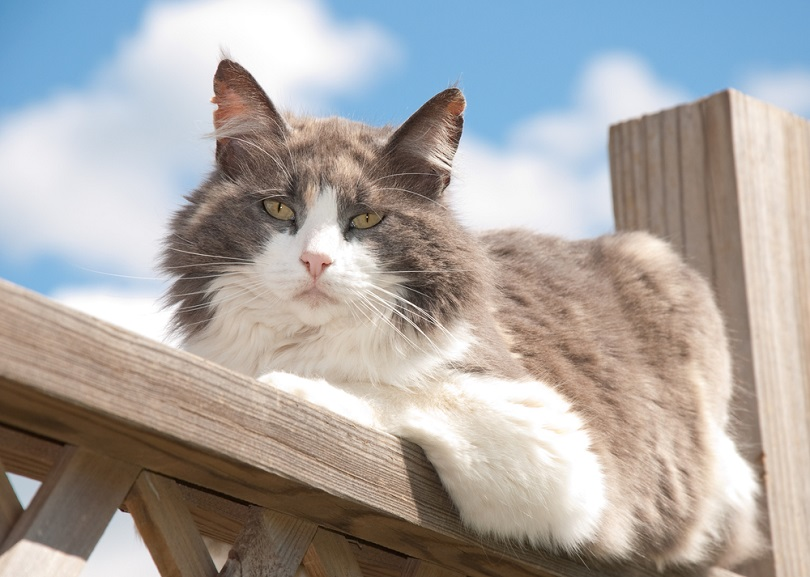 Diluted calico cat resting on railing_Sari Oneal_shutterstock