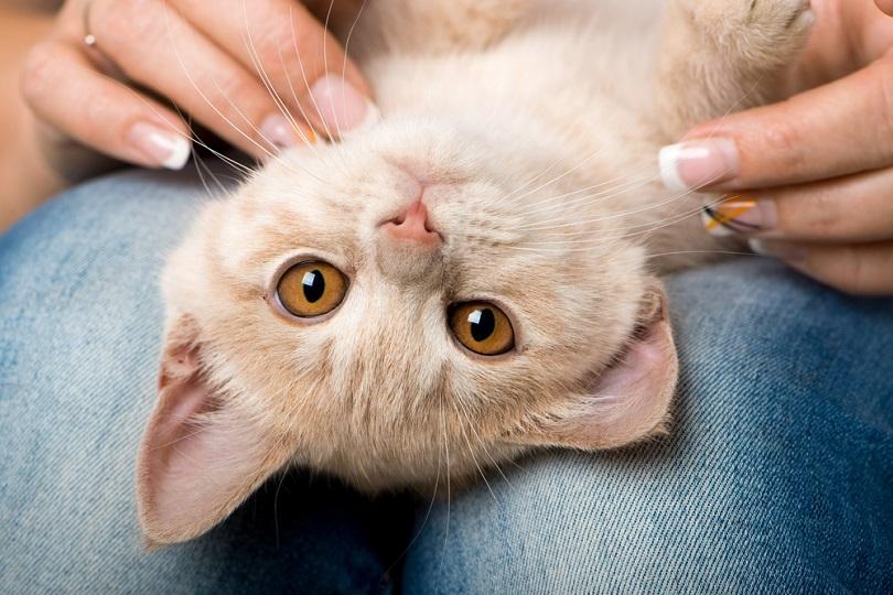 Red-kitten-lying-on-lap_Dora-Zett_shutterstock