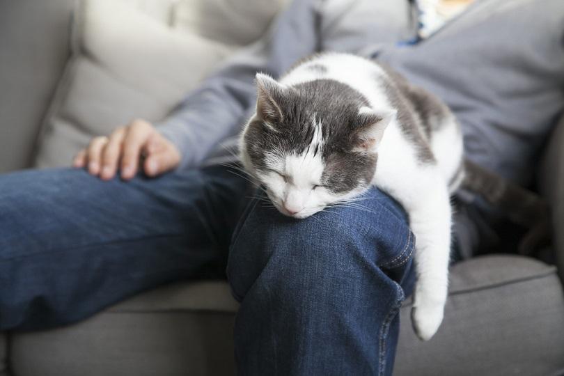 Sleeping-cat-on-your-lap_Kuiper_shutterstock