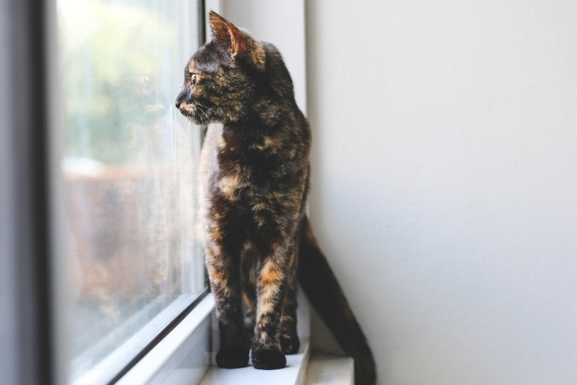 Tortoiseshell cat looking out of the window