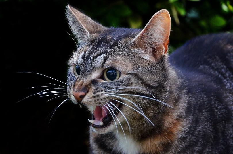 a tabby mackerel cat hissing