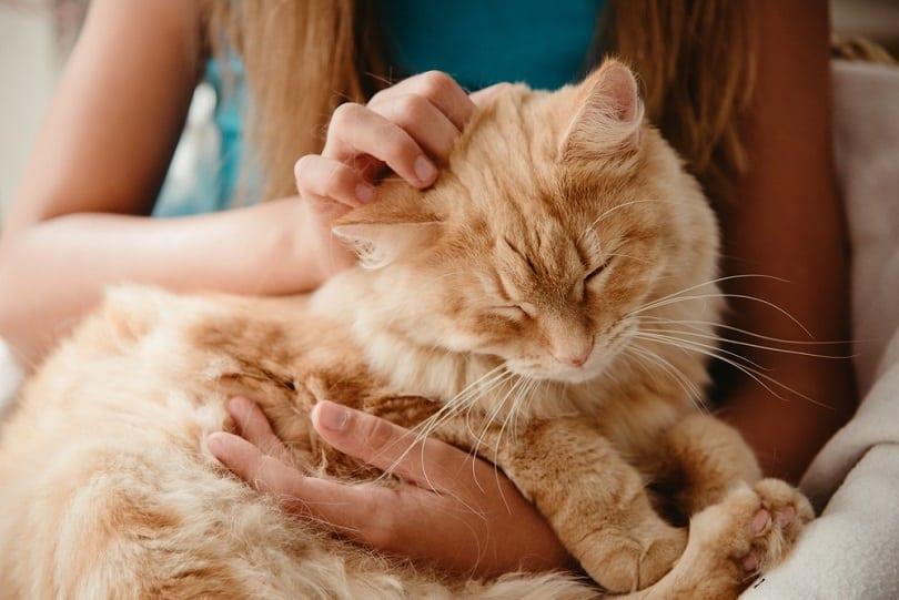 big-ginger-furry-cat-sleeping-on-lap_karpova_shutterstock