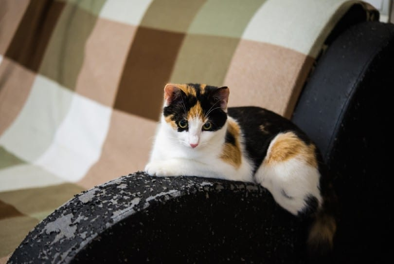 calico cat and a scratched sofa