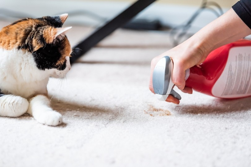 calico cat looking at mess on carpet