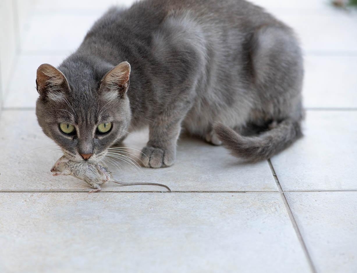 cat carrying a dead mouse