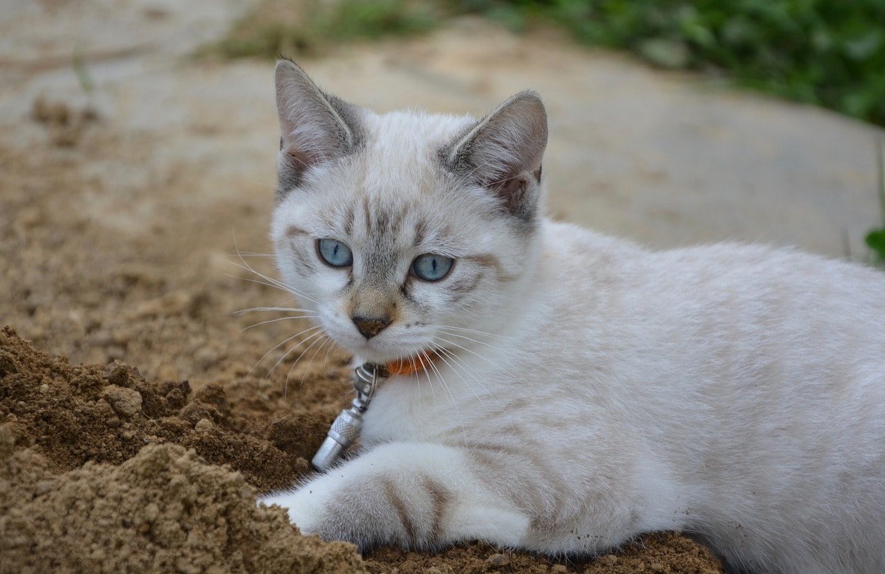 Why Do Cats Bury Their Poop? Reasons for This Behavior - Excited Cats