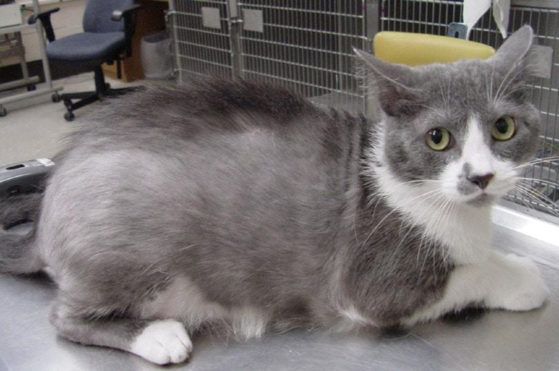 cat in vet