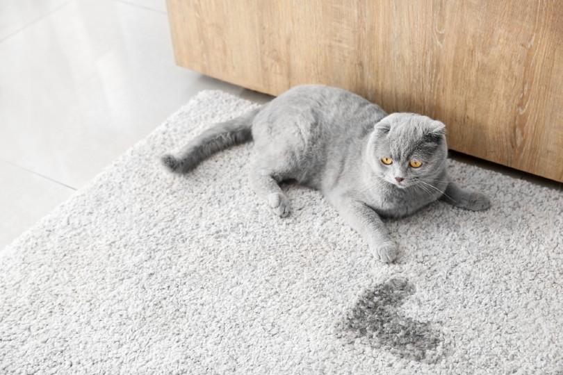 cat near wet spot on carpet