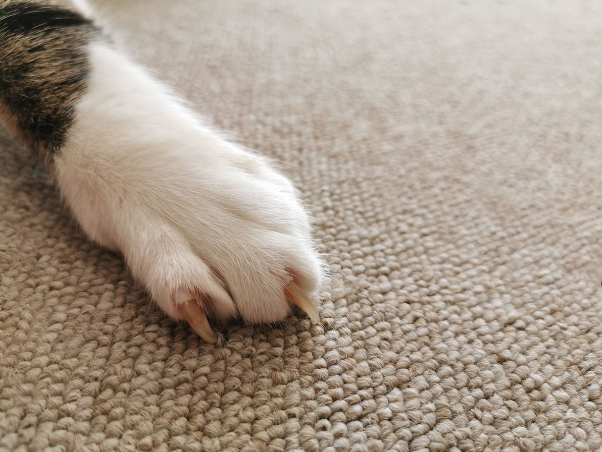 cat scratching the carpet